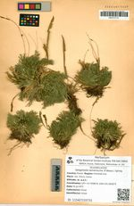 Selaginella tamariscina (P.Beauv.) Spring