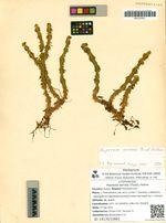 Huperzia serrata (Thunb.) Rothm.