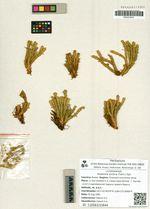 Huperzia arctica (Tolm.) Sipl.