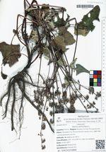 Salvia verticillata L.