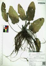 Salvia bucharica Popov