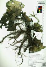 Salvia judaica Boiss.