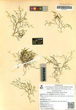 Selaginella borealis (Kaulf.) Rupr.