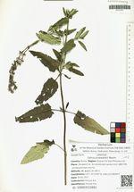 Salvia przewalskii Maxim.