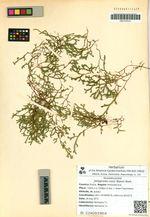 Selaginella rossii (Baker) Warb.