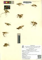 Selaginella rupestris (L.) Spring