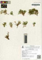 Selaginella sanguinolenta (L.) Spring