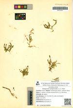 Selaginella selaginoides (L.) C. Mart