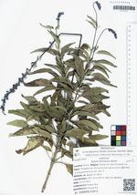 Salvia farinacea Benth.