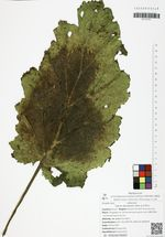 Salvia desoleana Atzei & V.Picci