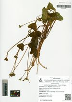 Caltha membranacea (Turcz.) Schipcz.
