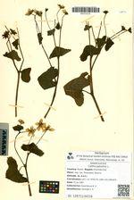 Caltha palustris L.