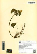 Caltha sibirica (Regel) Makino