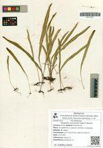 Pleopeltis ussuriensis Regel & Maaack