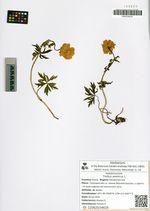 Trollius asiaticus L.
