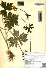 Trollius macropetalus (Regel.) Fr. Schmidt