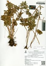 Trollius ledebourii Reichb. subsp. vicarius (Sipl.) Galanin