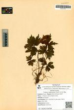 Trollius riederianus Fisch. & C.A. Mey.