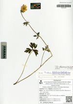Trollius ledebourii Reichenb. subsp. uncinatus (Sipl.) Galanin