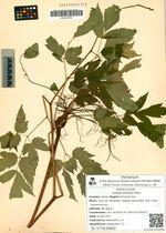 Actaea asiatica Hara