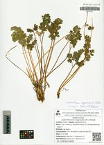 Callianthemum isopyroides (DC.) Witasek