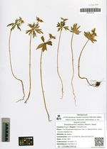 Shibateranthis stellata (Maxim.) Nakai