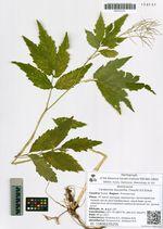 Cardamine leucantha (Tausch) O.E.Schulz