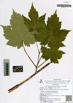 Acer ukurunduense Trautv. & C.A. Mey.