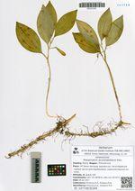 Polygonatum acuminatifolium Kom.