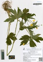 Ranunculus grandis Honda