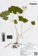 Thalictrum filamentosum Maxim.