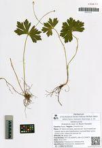 Arsenjevia rossii (S. Moore) Starodub.