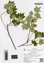 Ribes maximowiczianum Kom.