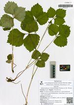 Halosciastrum melanotilingia Pimenov & V.N. Tikhom.