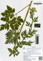 Pleurospermum uralense Hoffm.