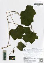 Menispermum dauricum DC.