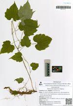 Dioscorea nipponica Makino