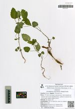 Scutellaria ussuriensis (Regel) Kudo