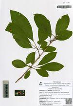 Rhamnus davurica Pall.