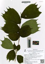 Ulmus laciniata (Trautv.) Mayr