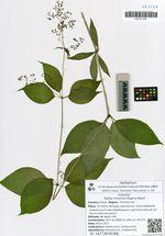 Rubia chinensis Regel & Maack