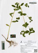 Euphorbia lucorum Rupr.