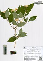 Deutzia amurensis (Regel) Airy Shaw