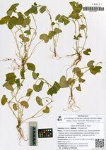Viola verecunda A. Gray