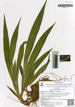 Carex siderosticta Hance