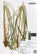 Carex forficula Franch. & Sav.