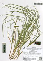 Carex pallida C.A. Mey.
