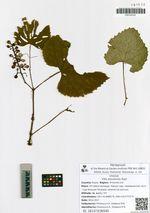 Scapania undulata (L.) Dumort.