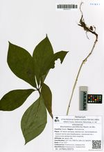 Brachybotrys paridiformis Maxim. ex Oliv.