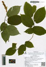 Carpinus cordata Blume